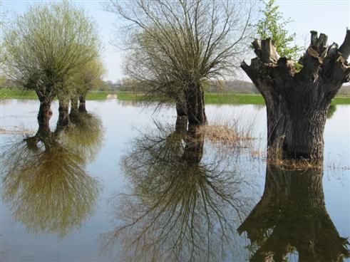 Kopfweiden im Elbehochwasser