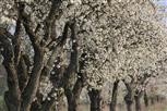 Kirschblüten-Allee