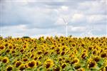 Sonnenblumen und Windkraft
