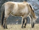 Konik-Wildpferd mit Bachstelze