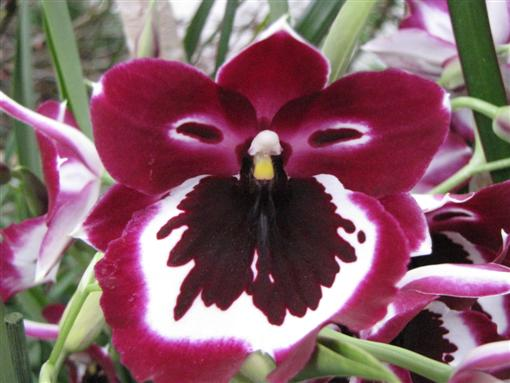 orchidee/rot