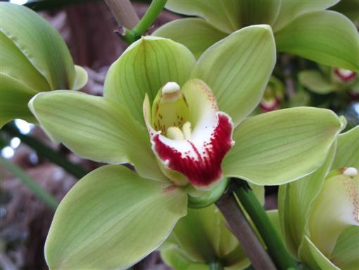 orchidee/grün
