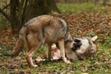 Junge Wölfe beim Spielen