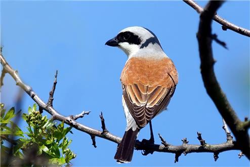 Dornenvogel - Rotrückenwürger - Neuntöter