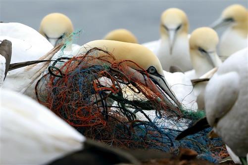 Die Sammlerin - Basstölpel mit Netzen als Nistmaterial - Ein Bild das traurig macht