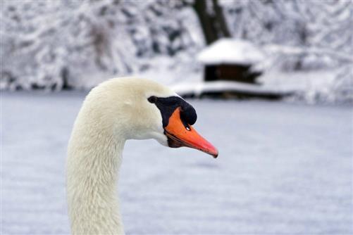 Schwan auf seinem zugefrorenen Teich