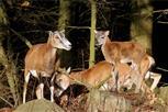 Nachwuchs bei den wilden Mufflons in der Oberlausitz