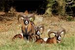 3 Prachtkerle - Mufflonwidder im Sonnenschein