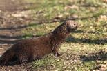 Seltene Begegunung - Wilder Mink, Amerikanischer Nerz