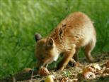 Junger Fuchs auf einem Kompost