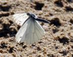 Schmetterling im Flug