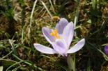 Biene im Frühjahrstaumel