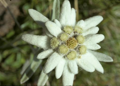 Edelweiss, Leontopodium nivale