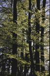 Rotbuchen, Fagus sylvatica