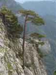 Kiefer, Pinus sylvestris