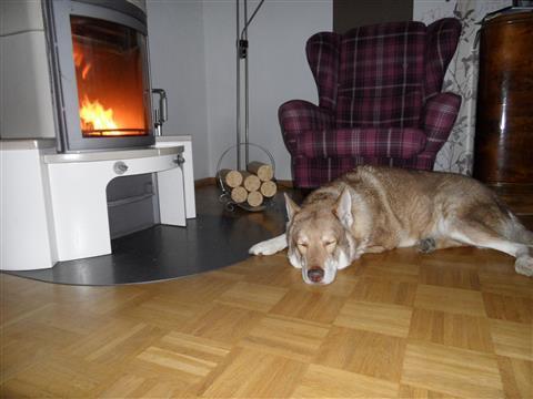 Saarloos-Wolfhund