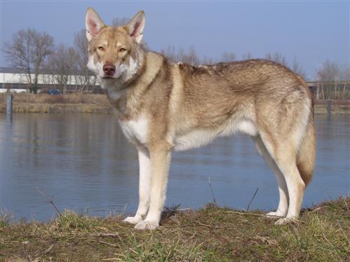 Saarloo-Wolfshund