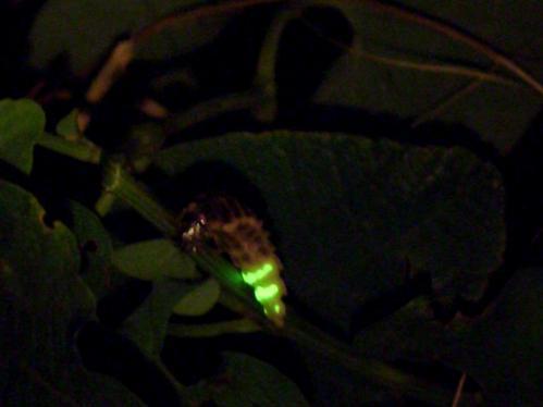 Großes Glühwürmchen Weibchen