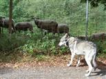 Wolf und die 7 Geißlein