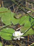 Frosch aus Seerose