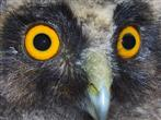 Waldohreule Jungvogel Porträt