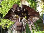 Tacca Fledermausblume