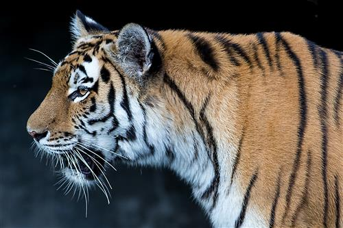 Tiger im Tierpark Hagenbeck, Porträt