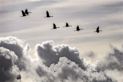 Kraniche über den Wolken
