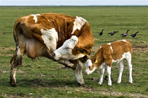Kuh mit Kalb