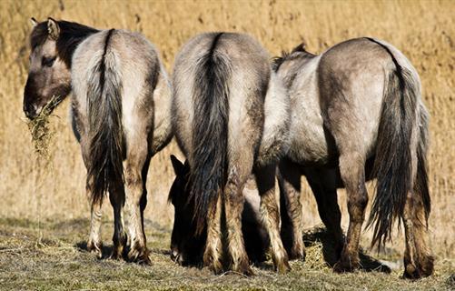 Konik Pferde im Naturschutzgebiet