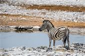 Zebra an der Wasserstelle