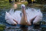 Pelikan im Tierpark Hagenbeck