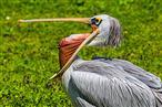 gähnender Pelikan im Tierpark Hagenbeck
