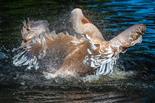 Pelikan Tierpark Hagenbeck (Gefiederpflege)