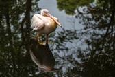 ruhender Pelikan (Tierpark Hagenbeck)