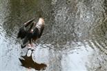 Graugans im Landeanflug auf das Wasser
