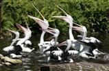 Pelikane bei der Fütterung