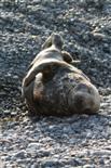 Kegelrobbe (weiches Ruhebett)