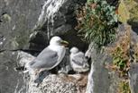 Dreizehenmöwe mit  Jungvögeln im Nest