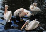 Gefiederpflege (Pelikane)
