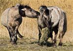 Futterneid (Konik Pferde im Naturschutzgebiet)