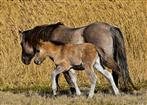 Konikstute mit Fohlen im Naturschutzgebiet
