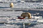 Eisbär mit Beute, ein Fresskonkurrent nähert sich