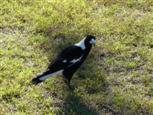 Vogel auf Wiese