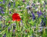 Mohn auf Blumenfeld