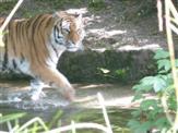 Tiger-Stefan-Prowo09