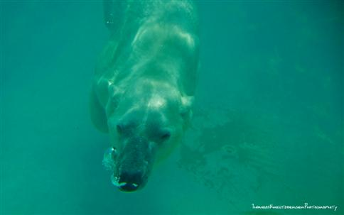 Diving Icebear