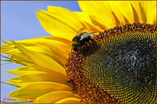 Sonnenblume mit Hummel