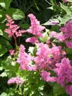 Blütenrispen der Astilben