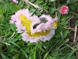 Gänseblümchen ohne Ende